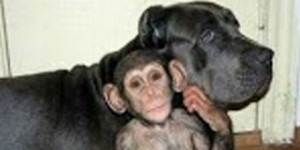 Una perra adopta a un chimpancé