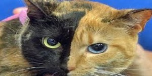 """Venus, La gata de """"dos caras"""" (fotos y video)"""