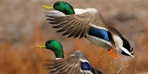 ¿El graznido de los patos no produce eco?