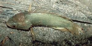 Los peces que caminan ¿son una amenaza?